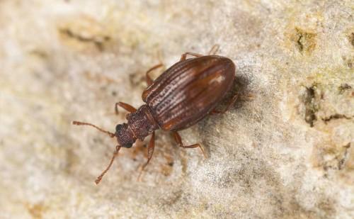 Plaster Beetle