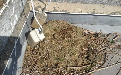 Gull Nest Removal